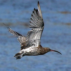 A curlew in flight