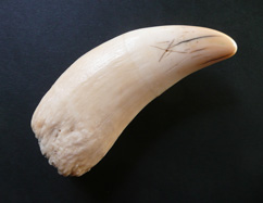 A whale's tooth